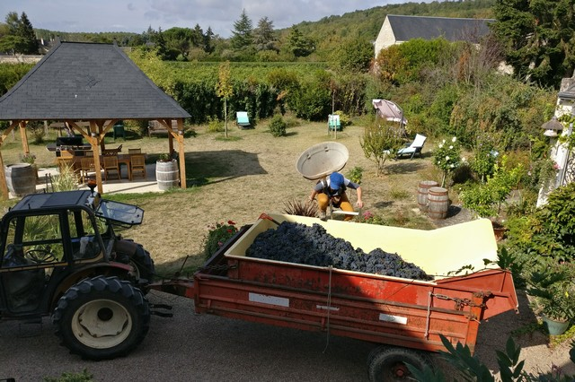 Harvesting vines from Clos des Bérengeries