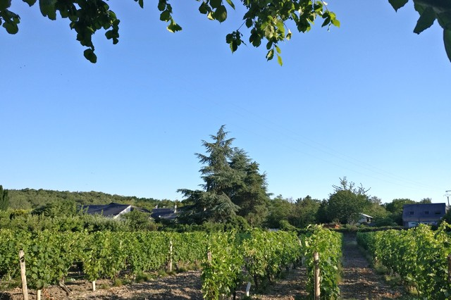 The vineyards of Clos des Bérengeries